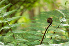 New leaf of New Zealand silver fern Royalty Free Stock Photos