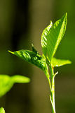 New leaf of the tree Stock Photography
