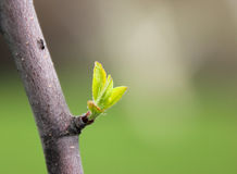 New leaf on a tree in spring Stock Photo
