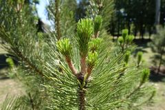 New leafage on branches of pine. Tree Stock Photo