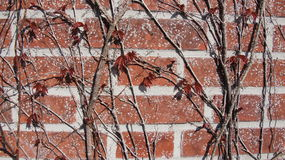 New leafes on Virginia creeper on wall. New spring leafes on red bricked wall background Royalty Free Stock Photos