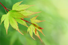 New leaves. Green background with young Japanese maple tree leaves stock images