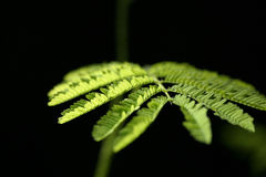 New leaves #6. A macro shot of a mimosa leaf Stock Image