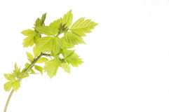 New leaves Stock Photo