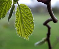 New Leaves Royalty Free Stock Photo