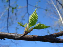 New leaves of birch tree. On blue spring sky Stock Images