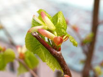 New leaves and buds on tree Royalty Free Stock Photo