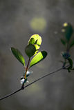 New leaves in early spring Royalty Free Stock Photos