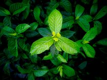 New Leaves of Gardenia after Rain. The New Leaves of Gardenia after Rain ,Top View royalty free stock images