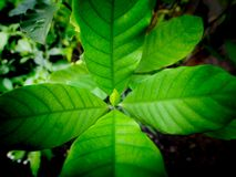 New Leaves of Gardenia. The New Leaves of Gardenia  ,Top View stock image