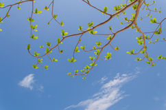 New leaves growing on bright blue sky background Stock Image