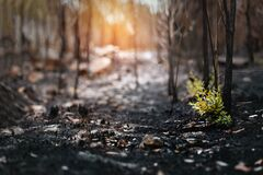 Free New Leaves Grown After Forest Was Burn. Rebirth Of Nature After The Fire. Stock Photos - 179787493