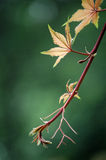 New leaves, ivy Stock Photography