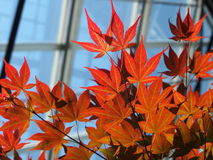 New Leaves On Japanese Maple Tree Royalty Free Stock Images