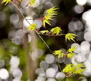 New leaves on Japanese tree Stock Photo