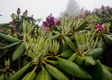 New Leaves on Rhododendron Bush Royalty Free Stock Photography