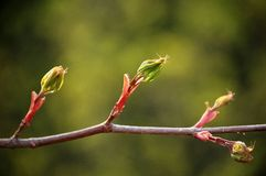New leaves in spring Royalty Free Stock Photo