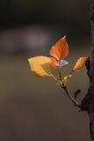 New leaves in spring. A branch of new leaves in spring showed fresh yellow reddish color against sunlight Royalty Free Stock Photography