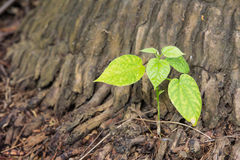 New leaves sprouting from the trunk Royalty Free Stock Photos