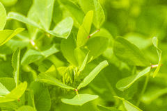 New leaves Royalty Free Stock Images