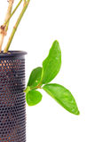 New life. Plant growing from steel can stock image