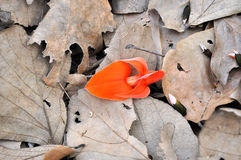 New life. Fresh red flower around dry leaves Stock Photography