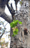 New life. Fresh green leaves on old oak tree Stock Photos