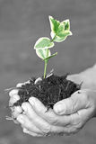 New life. Senior hands holding small plant stock images