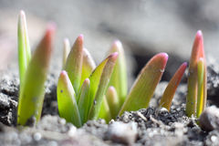 New life. Young green sprouts make the way through the earth royalty free stock photos