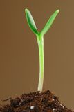 New life. Sunflower sprout close up against brown background stock photo