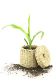 New life. Corn plant growing in a basket stock photography