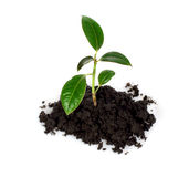 New life. Green sprout entrenches from land Royalty Free Stock Image