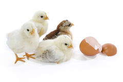New life. Newborn yellow chicks with egg royalty free stock photo