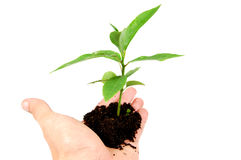 New Life. Hand holding a seedling isolated on white royalty free stock photos