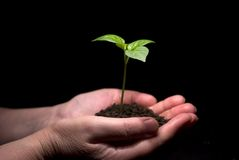 New life. Hands holdings a little green plant on a black background royalty free stock image