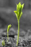 New life. Young green sprouts on black and white background Royalty Free Stock Images