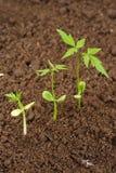 New life. Beginnings, Three seedlings growing from soil stock photos