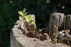 New life. Small plant growing from old stump Royalty Free Stock Photography