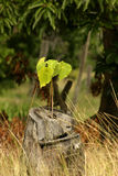 New life. New tree growing from stump of old one Stock Photos