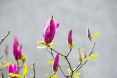New life awakening. Blossoming magnolia branch with purple flowers on blurred background. Spring season concept. Blossom, bloom, flowering. Nature, beauty Royalty Free Stock Photography