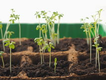 New life beginning concept. Sprouting seed from soil closeup. Growing seedling. Royalty Free Stock Photos