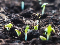New life beginning concept. Sprouting seed from soil closeup. Growing seedling. Stock Photography