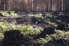 New life in burned zone with black stumps and green ferns after forest fire. Burned zone with black stumps and green ferns in sunlight after forest fire in stock image