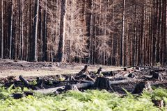 New life in burned zone with black stumps and green ferns in sunlight after forest fire stock image
