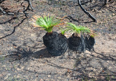 New life after bushfire Black Boys Stock Photos