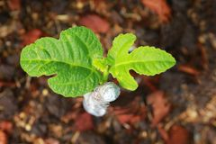 New life of a common fig plant. Royalty Free Stock Image