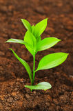 New life concept -. Green seedling growing out of soil royalty free stock photo