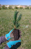 New life concept. Close-up of hands holding a pine evergreen seedling to be planted into the soil. Planting a tree. New life concept. Close-up of hands holding a Stock Photo