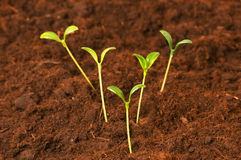 New life concept - green seedlings Royalty Free Stock Photography