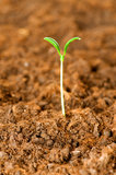 New life concept - green seedlings Royalty Free Stock Image